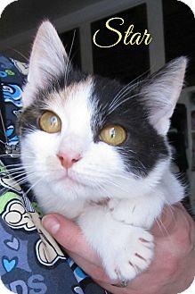 Domestic Shorthair Kitten for adoption in Menomonie, Wisconsin - Star