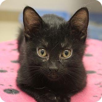 Domestic Shorthair Kitten for adoption in Naperville, Illinois - Margaret