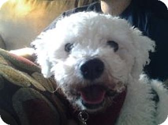 Bichon Frise Mix Dog for adoption in London, Ontario - Nina