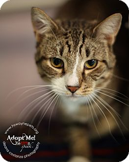 Domestic Shorthair Cat for adoption in Lyons, New York - Romaro