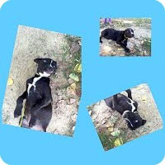 Labrador Retriever Mix Puppy for adoption in Darlington, South Carolina - Oz