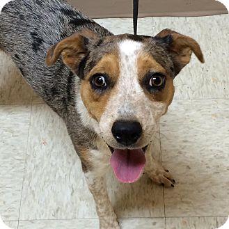 Australian Shepherd/Cattle Dog Mix Dog for adoption in Woodward, Oklahoma - Aries