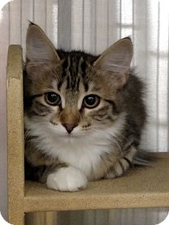 Domestic Shorthair Kitten for adoption in Pueblo West, Colorado - Kaelin