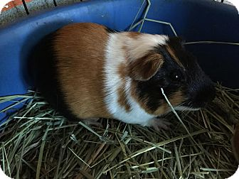 Guinea Pig for adoption in Westminster, California - Solo