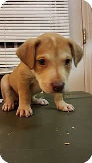Labrador Retriever Mix Puppy for adoption in Williamsburg, Virginia - NOEL