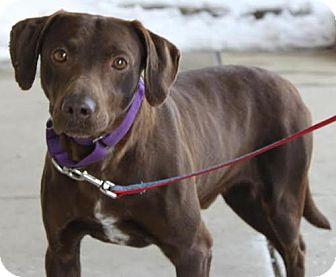 Labrador Retriever Mix Dog for adoption in Livonia, Michigan - Peter-ADOPTED