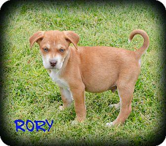 Weimaraner/Labrador Retriever Mix Puppy for adoption in Cranford, New Jersey - Rory