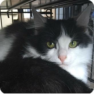 Domestic Longhair Cat for adoption in North Haven, Connecticut - Moo