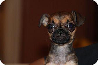 Pug/Chihuahua Mix Puppy for adoption in Phoenix, Arizona - Betty