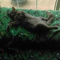 Domestic Longhair Cat for adoption in Morehead, Kentucky - Hailey ADULT FEMALE