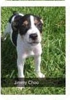 Basenji Mix Dog for adoption in East Hartford, Connecticut - Jimmy Choo in CT