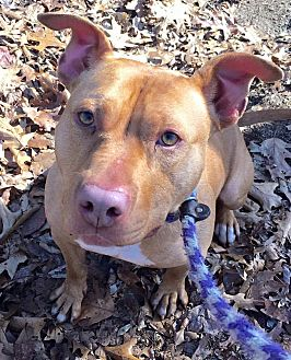 American Pit Bull Terrier Mix Dog for adoption in Ozone Park, New York - Winter