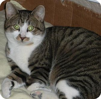 Domestic Shorthair Cat for adoption in Washington, Virginia - Max