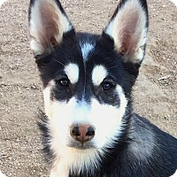 Siberian Husky Puppy for adoption in Cedar Crest, New Mexico - Roo