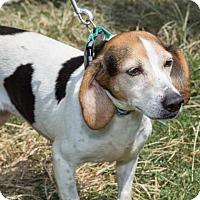 Adopt A Pet :: Beatrix - Richmond, VA