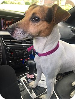 Jack Russell Terrier Mix Dog for adoption in Vineland, New Jersey - Bianca