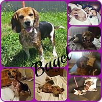 Adopt A Pet :: Bagel - Ft Worth, TX