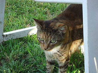 Domestic Shorthair Cat for adoption in Central Islip, New York - Anabel