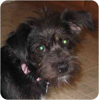 Norfolk Terrier/Terrier (Unknown Type, Small) Mix Dog for adoption in Encino, California - SASHA