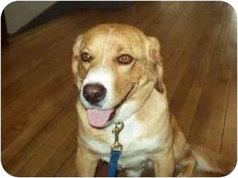Beagle/Golden Retriever Mix Dog for adoption in Buffalo, New York - Cash: Prison Dog