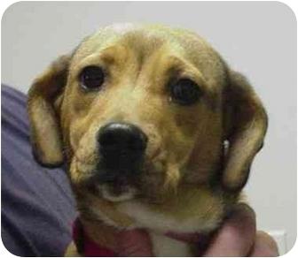 Labrador Retriever/Beagle Mix Dog for adoption in Manassas, Virginia - Heidi