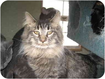 Domestic Mediumhair Cat for adoption in Terre Haute, Indiana - Penny Jo