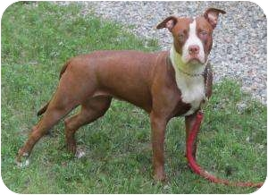 American Pit Bull Terrier Mix Dog for adoption in Bloomfield, Connecticut - Adriana
