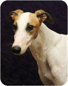 Greyhound Dog for adoption in West Palm Beach, Florida - Tory