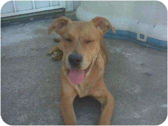 American Pit Bull Terrier Mix Dog for adoption in Yuba City, California - Buddy