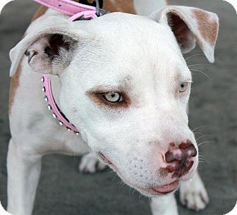 American Staffordshire Terrier/Pit Bull Terrier Mix Puppy for adoption in Los Angeles, California - Ellie Mae