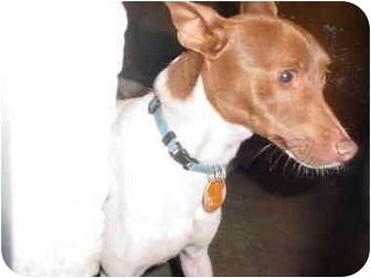 Rat Terrier Dog for adoption in Sacramento, California - Sparksy!