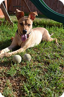 German Shepherd Dog/Greyhound Mix Dog for adoption in Torrance, California - LEIA