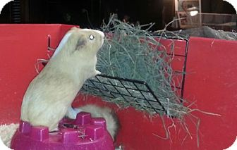 Guinea Pig for adoption in Pittsburgh, Pennsylvania - Rex