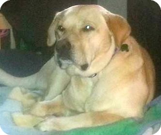 Labrador Retriever Mix Dog for adoption in Union City, Tennessee - Little Adam