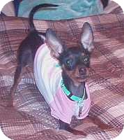 Miniature Pinscher Dog for adoption in Columbus, Ohio - Coco