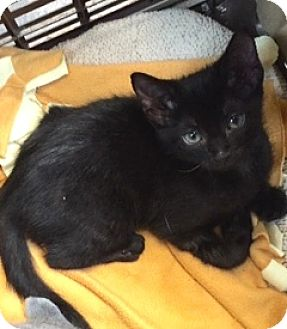 Domestic Shorthair Kitten for adoption in Battle Creek, Michigan - Cher