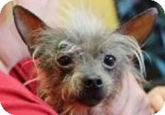 Chinese Crested/Chinese Crested Mix Dog for adoption in Gilford, New Hampshire - Big Dawg (fostered in IL)