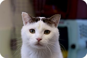 Domestic Shorthair Cat for adoption in Chicago, Illinois - Clarendon