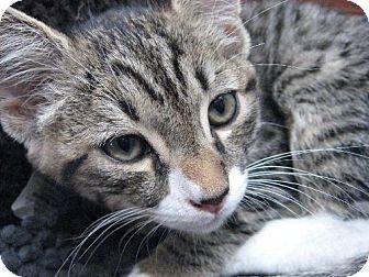 Domestic Shorthair Kitten for adoption in Oakland, California - Timber