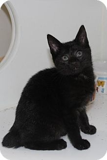 Domestic Shorthair Kitten for adoption in Hamilton, Ontario - Uno