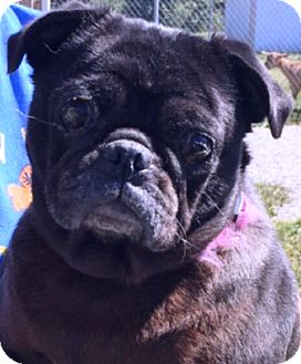 Pug Dog for adoption in Oswego, Illinois - I'M ADOPTED Lucy Whitmer ;)