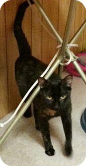 Domestic Shorthair Cat for adoption in Statesville, North Carolina - Jillian