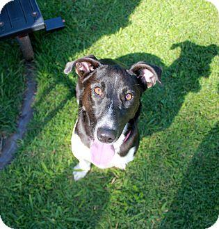 Corgi/Collie Mix Dog for adoption in Marietta, Georgia - Pepper