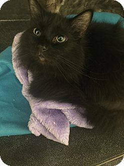 Domestic Longhair Cat for adoption in Monroe, Michigan - Jagger