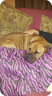 Bullmastiff Dog for adoption in Greeneville, Tennessee - Allie
