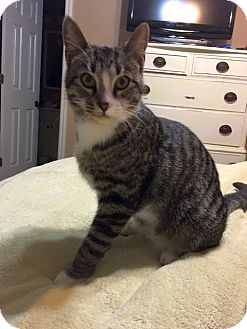 Domestic Shorthair Cat for adoption in Knoxville, Tennessee - George M