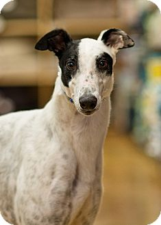 Greyhound Dog for adoption in Aurora, Indiana - Clyde