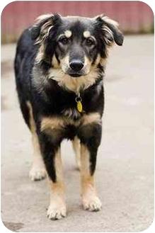 Australian Shepherd Mix Dog for adoption in Portland, Oregon - Becca