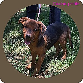 Beagle Mix Dog for adoption in Windham, New Hampshire - Cowboy