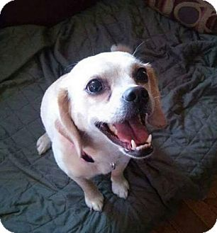 Pug/Beagle Mix Dog for adoption in Northville, Michigan - zLucy-ADOPTED